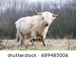 adult hairy cow  looks at you.... | Shutterstock . vector #689485006