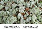 Deer Moss  A Lichen In The...