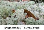 A Close Up Of A Deer Moss ...
