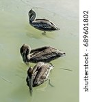 Three Brown Pelicans Floating...