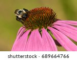 Common Eastern Bumblebee...