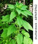 Nepeta Cataria   Catnip Leaves...