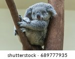 Stock photo koala resting and sleeping on his tree with a cute smile 689777935