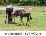 Wild Mother Gnu Helping New...