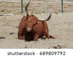 Small photo of Ankola cow