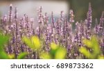 branches of flowering lavender. ... | Shutterstock . vector #689873362