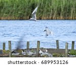 Small photo of Common terns flying into a protected ternary on a small fresh water loch in north eastern Scotland at Loch Spynie