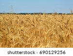 Fragment Of A Ripe Wheat Field...