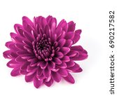 Lilac Chrysanthemum Flower...