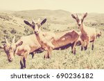 3 Vintage Goats Looking At The...