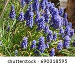 purple hyacinths in the sun   Shutterstock . vector #690318595