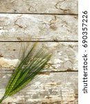 Small photo of Wheat called Triticum aestivum. Bunch of grains on grunge wooden table with cracking white paint.
