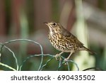 thrush sitting on wire fence | Shutterstock . vector #690435502