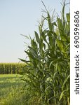 Corn Field Just Before Harvest...