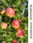 a big branch with large ripe... | Shutterstock . vector #690598936