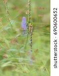 Small photo of Southern hawker or blue hawker (Aeshna cyanea)