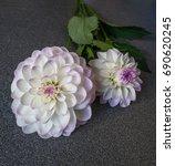 beautiful dahlias flowers on... | Shutterstock . vector #690620245