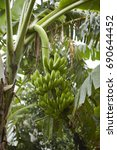 banana tree | Shutterstock . vector #690644452