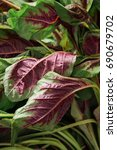 Small photo of edible amaranth