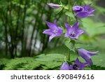 Violet Campanula Blooming In...