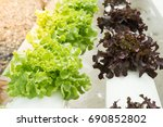 fresh hydroponic vegetables are ...   Shutterstock . vector #690852802