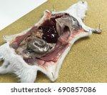 rat dissection  open the rat... | Shutterstock . vector #690857086