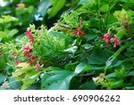 quisqualis indica  or ... | Shutterstock . vector #690906262