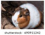 guinea pig   Shutterstock . vector #690911242