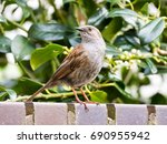 Small photo of Portrait of adult dunnock or hedge accentor, Prunella modularis, perching on brick wall in garden