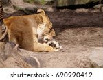 A Lioness Licks Her Paw After...