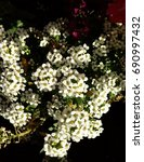 Small photo of White Alyssum on Dark Background