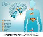 male endocrine system. human... | Shutterstock .eps vector #691048462