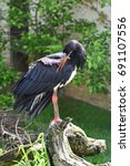 Small photo of Abdim's stork (Ciconia abdimii) also known as white-bellied stork beautifies himself