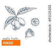 kumquat. hand drawn vector... | Shutterstock .eps vector #691131202