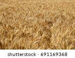 fields of wheat  cereal field...   Shutterstock . vector #691169368