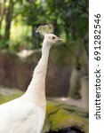 Small photo of Close up of albino white peacock in the zoo