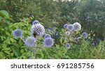 blue thistle  bumblebee. icon ...   Shutterstock . vector #691285756