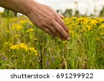 summer meadow with yellow... | Shutterstock . vector #691299922
