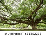a big tree in kanchanaburi ... | Shutterstock . vector #691362238