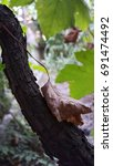 Small photo of It would seem nothing but a dry leaf lies on the grapevine. life after death