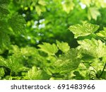 Small photo of Maple sycophant or yavor white Nizetti. Acer pseudoplatanus. Sycamore tree with marbled leaves, green with white veins and spots. Natural green and white background