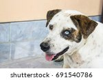 thai dog on street  dog with... | Shutterstock . vector #691540786