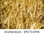 Golden Wheat Field. Wheat Fiel...