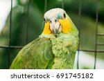 Small photo of Close Up Of Orange-winged Amazon Or Amazona Amazonica, Also Known Locally As Orange-winged Parrot And Loro Guaro, Is A Large Amazon Parrot. Wild Bird In Cage.