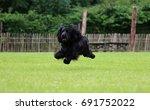 Flying Black Cocker Spaniel In...