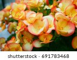 Orange Pink Begonia Flowers...