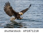 american bald eagle swooping to ... | Shutterstock . vector #691871218