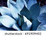 Agave  Asparagaceae  Cactus...