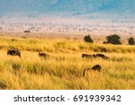 Lion Stalking Gnu In Tall Gras...