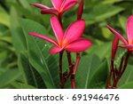 pink plumeria flowers for...   Shutterstock . vector #691946476